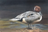 PINTAILED DUCK